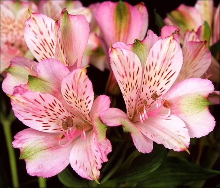 Садовые орхидеи, похожие на бабочку, и их описание, фото и виды: трициртисы, башмачок