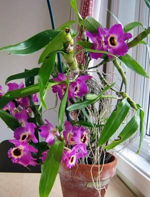 Пересадка орхидеи дендробиум (8 фото): как правильно пересадить орхидею дендробиум в горшок после покупки в домашних условиях пошагово?
