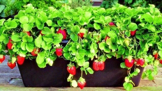 Выращивание ампельной клубники   во саду и в огороде