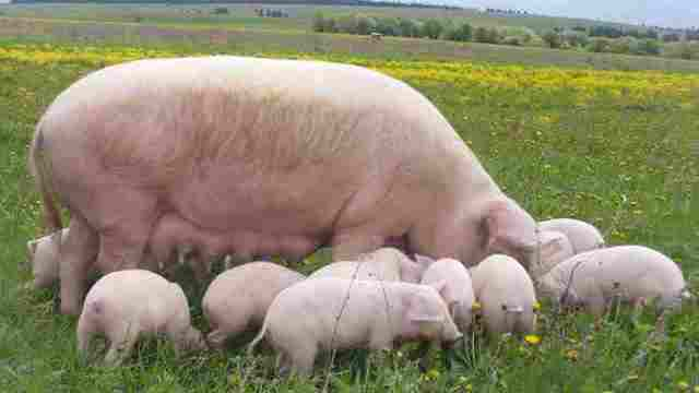 Системы и способы содержания свиней в домашних условиях для начинающих