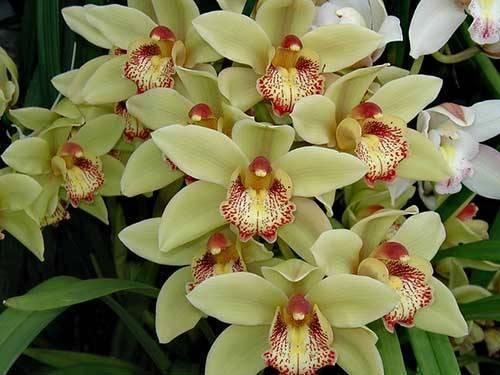 Самые редкие орхидеи