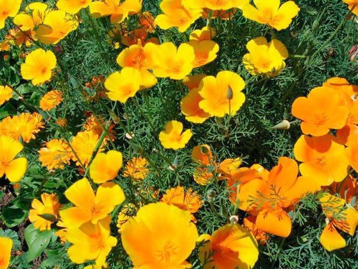 Эшшольция - фото, выращивание из семян в домашних условиях, в горшках, описание растения