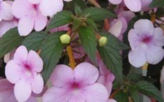 Ахименес: описание, выращивание и уход в домашних условиях