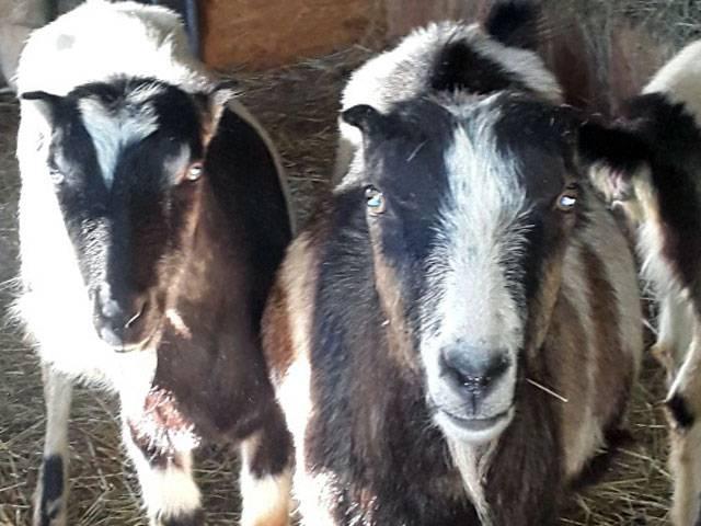 Козы ламанча: необычные ценности домашнего скота