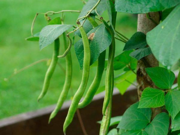 Как посадить фасоль в открытый грунт: пошаговое руководство