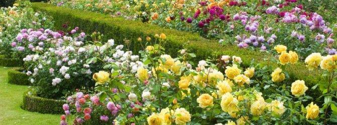Посадка розы осенью в грунт: как и когда правильно