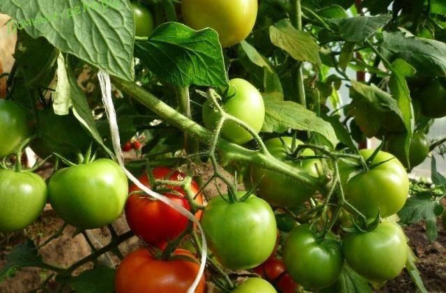 Как посадить и вырастить томат «снегирь»
