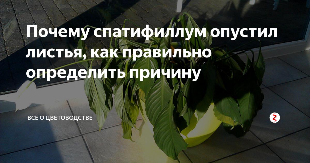 Болезни спатифиллума: как с ними бороться и чем лечить цветок? что делать, если у «женского счастья» вянут листья?