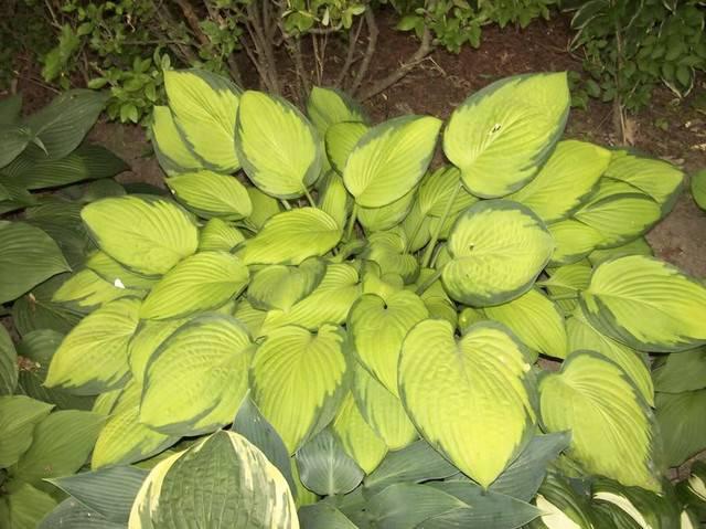 Хоста «голд стандарт»: описание, посадка, уход и размножение - ваш сад
