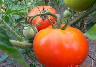 Описание томата джина с фото: характеристика сорта, правильная посадка семян и рассады помидор, выращивание и уход за растением с видео
