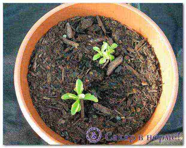 Как посадить стевию и правильно за ней ухаживать? советы садоводам