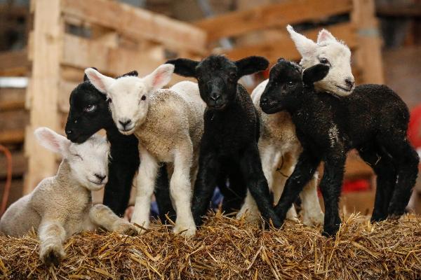 Беременность овец: сколько месяцев длится период беременности у овечки и как ее определить в домашних условиях?