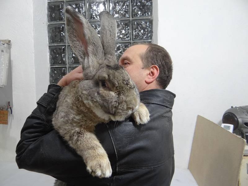 Кролики породы ризен: описание породы, содержание, кормление