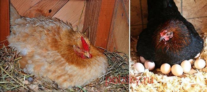 Сколько яиц можно подложить под курицу: сроки, уход, выбор яиц и наседки