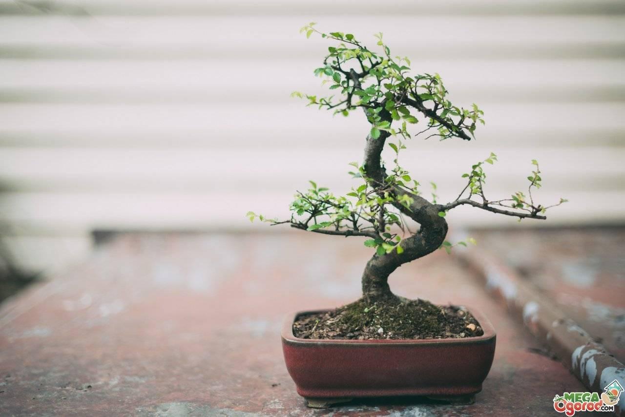 Дерево бонсай – как сделать из обычного растения, вырастить из черенка и семян, правила ухода
