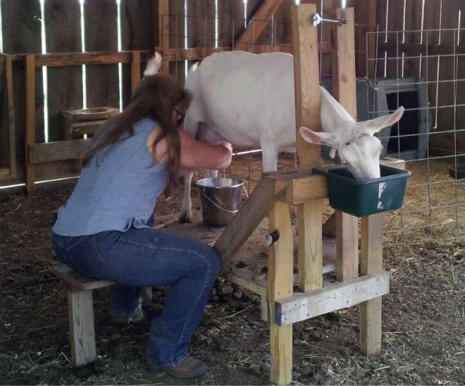 Как правильно доить козу - сколько раз в день и сколько лет доится 2021