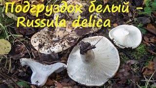 Чем отличаются грузди от подгруздков, скрипуна и других грибов (с фото)