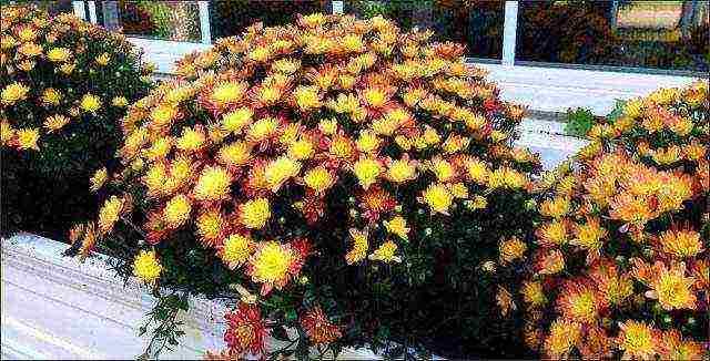 Хризантемы: уход за цветами осенью и подготовка к зиме