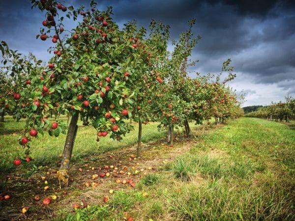 Описание сорта яблони память воину: фото яблок, важные характеристики, урожайность с дерева