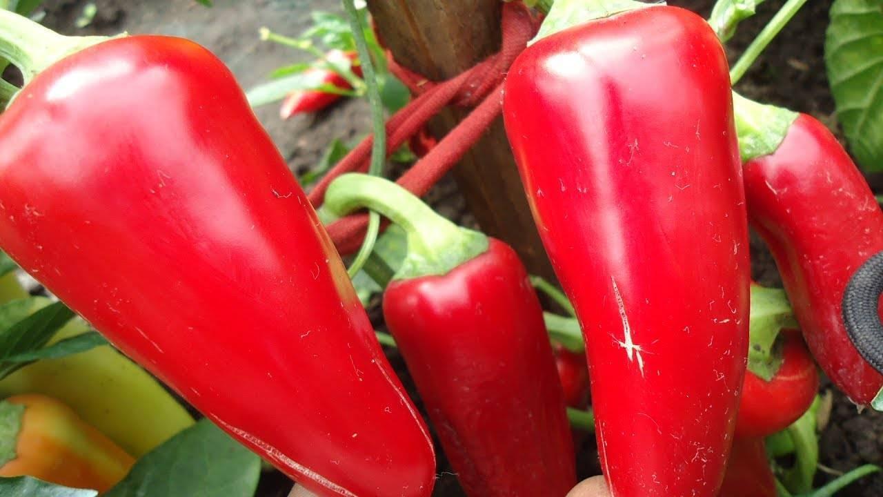 Перец ласточка: отзывы, фото, урожайность, описание и характеристика