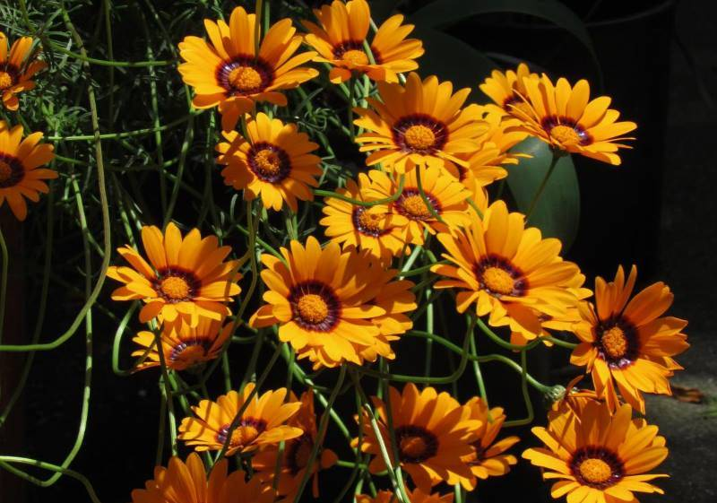Мшанка: выращивание в открытом грунте, виды