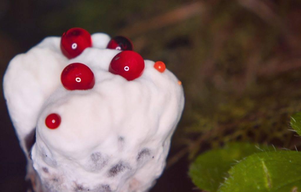 Где растет гриб кровавый зуб