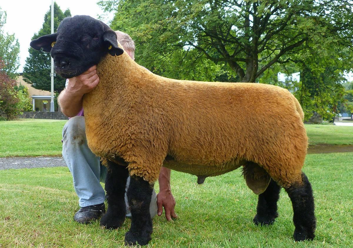 Курдючные и другие овцы мясных пород для эффективного животноводства
