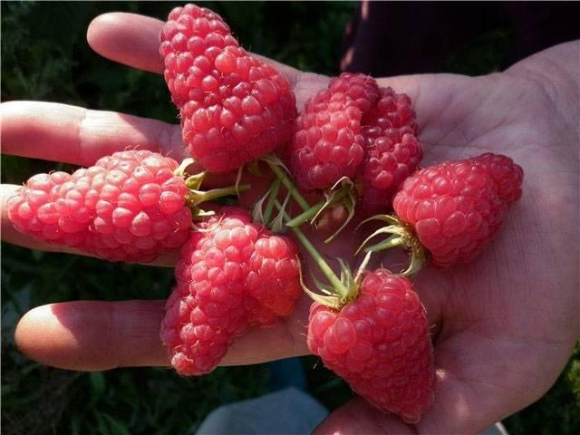 Полное описание сорта малины киржач: особенности посадки, выращивания и ухода с фото и видео