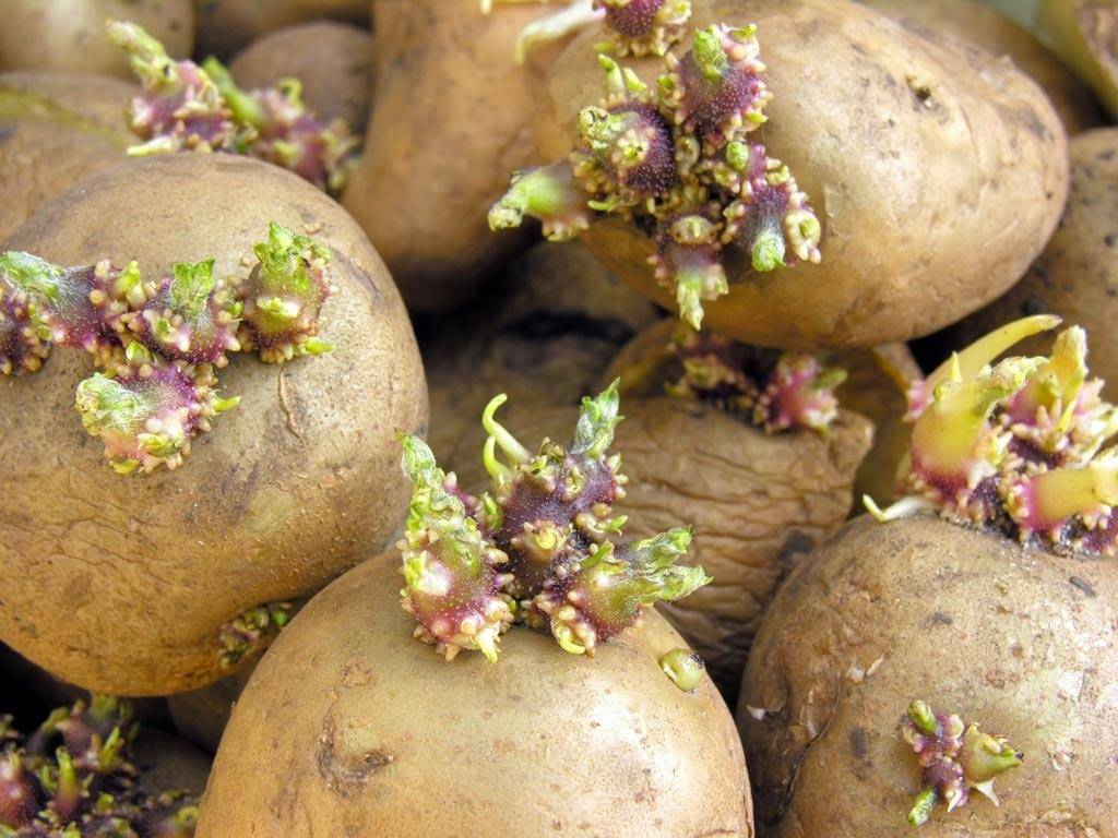 Проращивания картофеля перед посадкой — сроки и как правильно делать