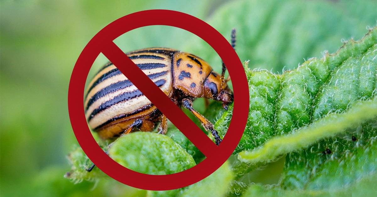 Деготь от колорадского жука: инструкция по применению, отзывы