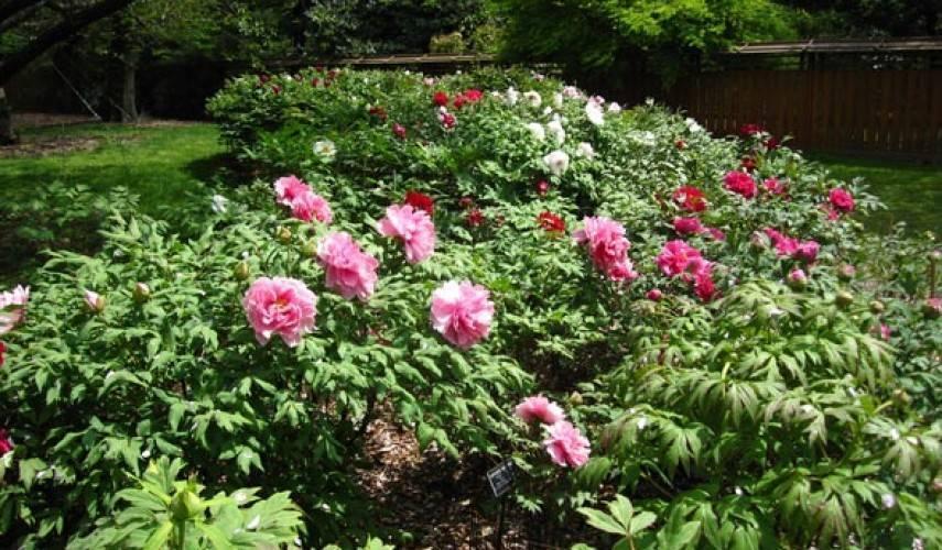 Древовидный пион - уход и выращивание на садовом участке