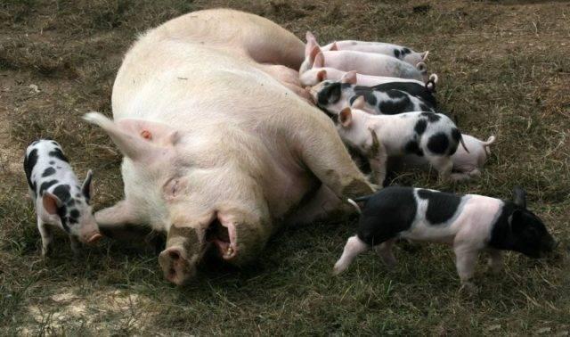 Все об опоросе свиней: календарь, поведение свиноматки перед родами