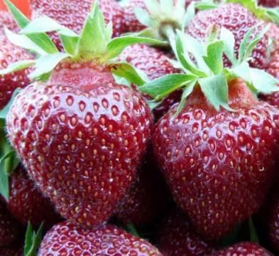 Клубника полька: описание сорта, отзывы садоводов и много фото