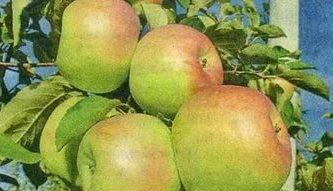 Сорта яблонь для средней полосы: лучшие зимние, осенние и летние яблони