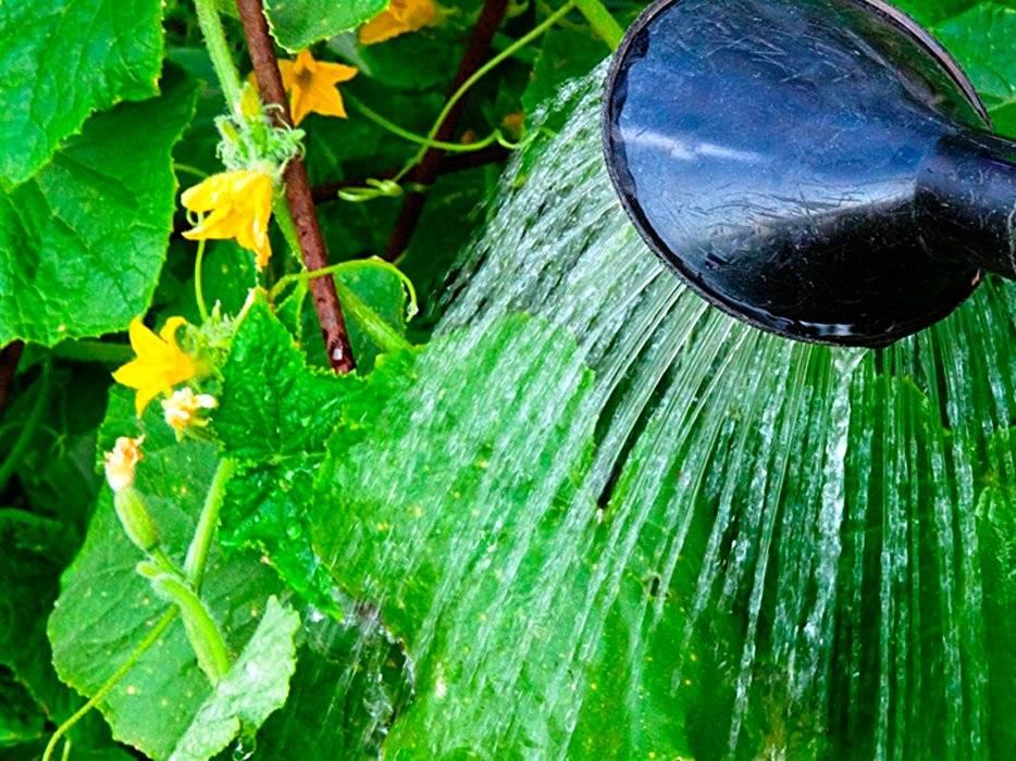 Правильный полив огурцов в открытом грунте и теплице: как часто и какой водой поливать