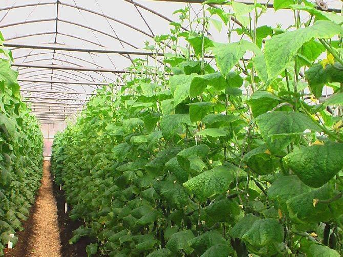 Полив огурцов – как получить богатый и вкусный урожай?