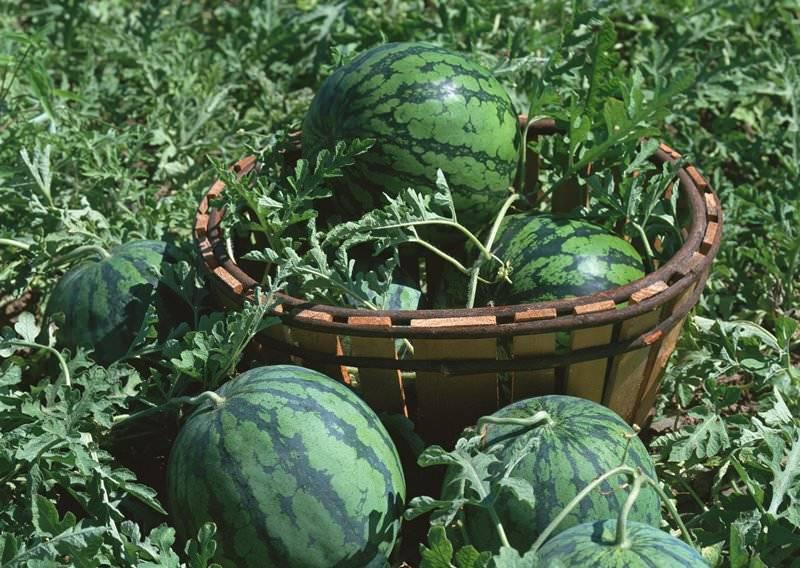 Арбуз выращивание в подмосковье: сорта для открытого грунта и теплиц