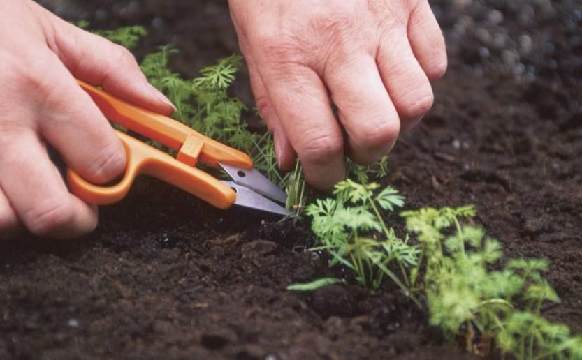 Когда надо и как нужно прореживать морковь на грядке