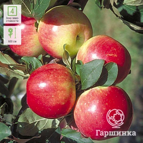Описание яблони «медуница»: особенности сорта, фото. технология посадки и выращивание яблони «медуница», подкормки сорта