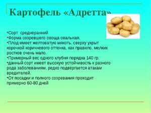 Сорт картошки адретта: описание сорта, полезные свойства, отзывы