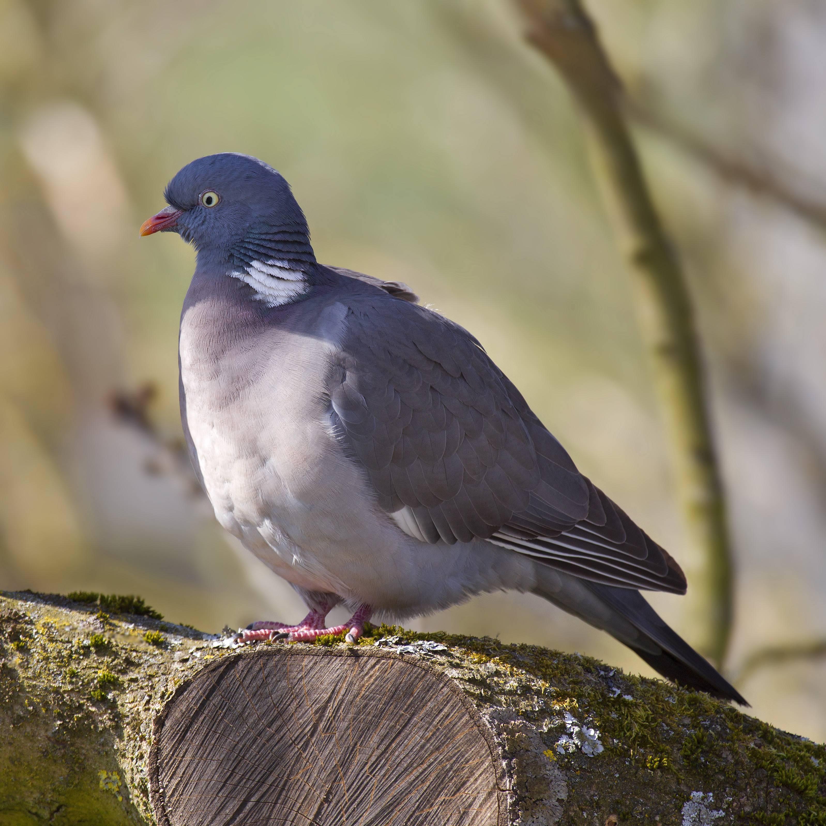 Как размножаются голуби и сколько высиживают яйца