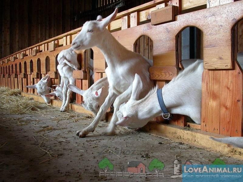 Описание породы коз, которые падают при испуге и причины их обмороков при испуге