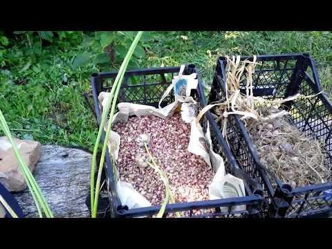 Выращивание чеснока из бульбочек в открытом грунте, как сажать семена и ухаживать за ним