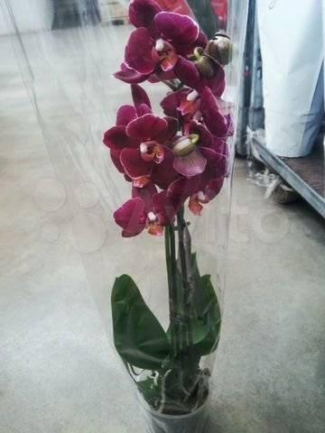 Чёрные орхидеи: сорта и фото (картинки) белых цветков с названием (например, черная птичка), отзывы орхидеистов, а также как они выглядят и как их вырастить