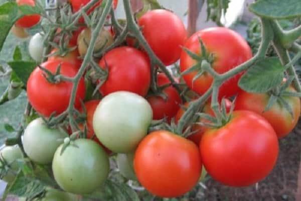 Томат непас: описание самых урожайных и сладких сортов непасынкующихся помидоров