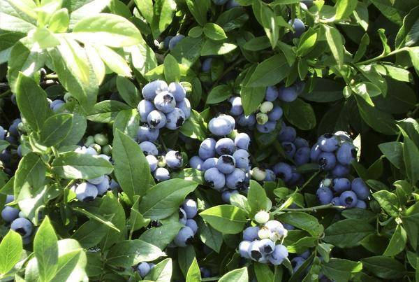 Растение садовая голубика: фото кустов, описание сортов, видео посадки, ухода и обрезки садовой голубики