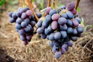 Изумительный сорт — виноград изюминка