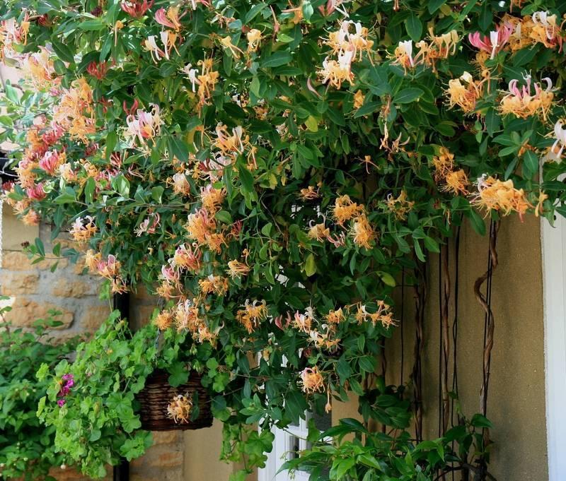 Жимолость вьющаяся - посадка и уход, фото   сажаем сад