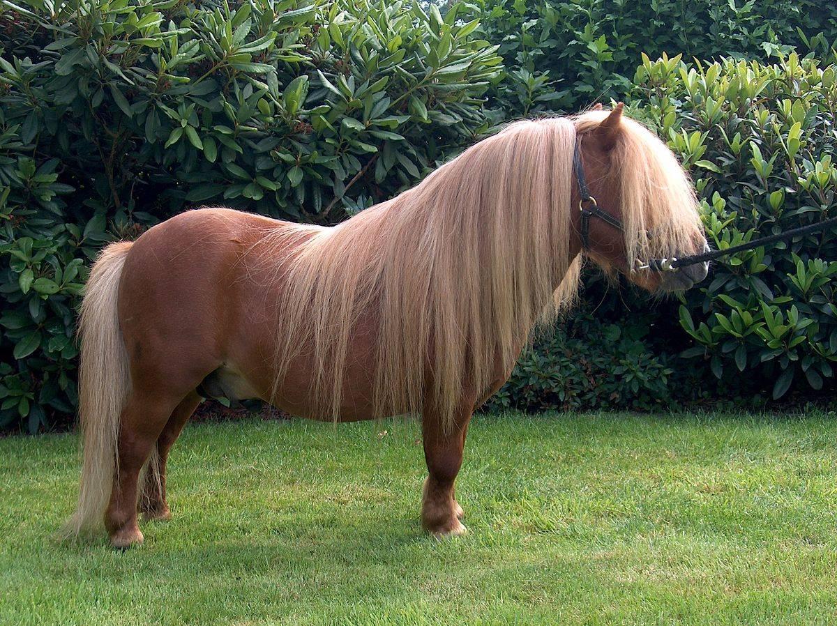 Лошадь породы аппалуза: характеристика, содержание и уход