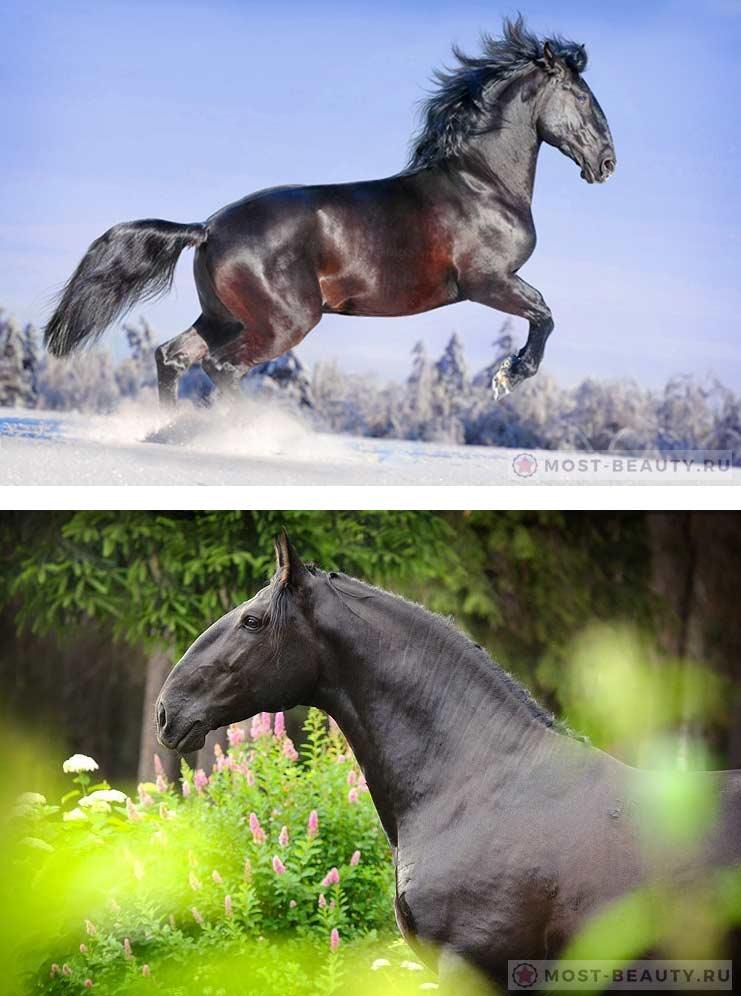 Описание лошадей Кладрубской породы